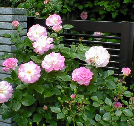 バラの画像 p1_33