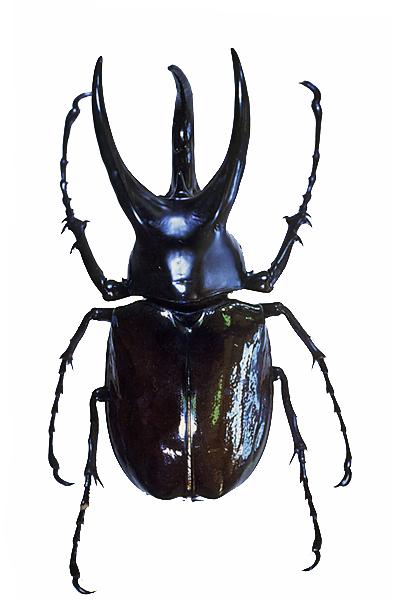 > 世界の珍奇・美麗昆虫 > カブトムシとコガネムシの仲間 > ボルネオオオカブトムシ ボルネオ