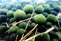 阿寒湖のマリモ/日本の特別天然記念物【動物と植物】 -- 公益社団法人農林水産・食品産業技術振興協会 --