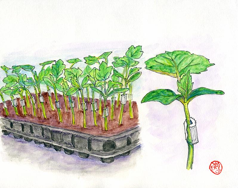 野菜の幼苗接ぎ木法を可能にした「全農式接ぎ木」の板木利隆/続々 ...